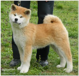 816x786px White Japanese Akita Puppies For Sale Picture in Puppies