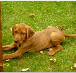 816x616px Wire Haired Hungarian Vizsla Puppies Picture in Puppies