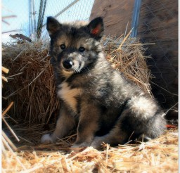 816x816px Wolf Dog Puppies Image Gallery Picture in Puppies