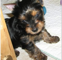 816x990px Yorkie Breeders Picture in Dog